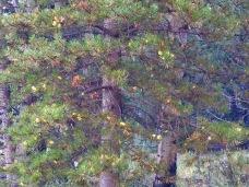 Decorated pine