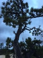 Canyon rim pine