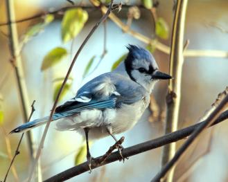 (Rumpled Blue Jay, Julia Warner)